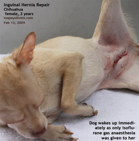 inguinal hernia in puppies inguinal hernia www pixshark images galleries with a bite