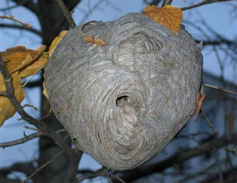 What Of Bees Make Paper Nests - do you a swarm of honey bees whidbey island beekeepers