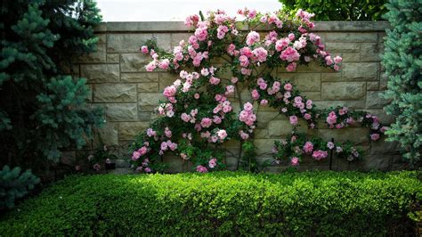 wallpaper for walls with roses pink roses on a stone fence wallpaper photography