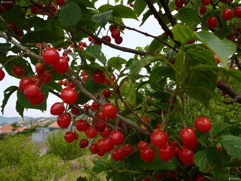 cherry trees fruit cherry fruit tree seeds for growing view cherry seeds