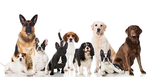 best dogs for service best service breeds my assistance inc