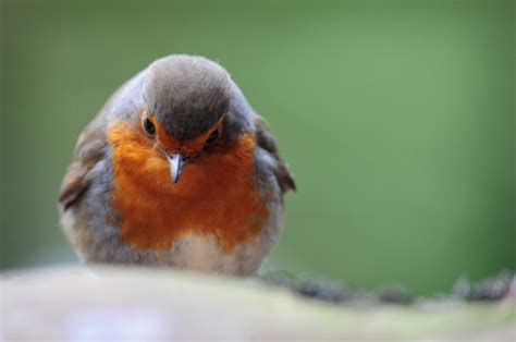 peak district birds robin