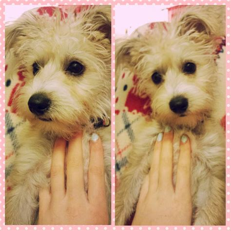 yorkie cross bichon frise for sale bichon frise cross yorkie puppy for sale minehead somerset pets4homes