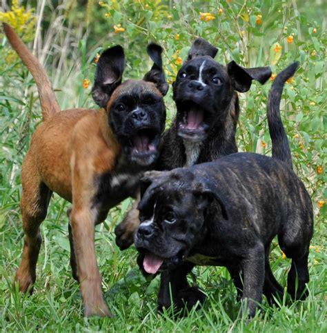 german boxer puppies german boxer puppy
