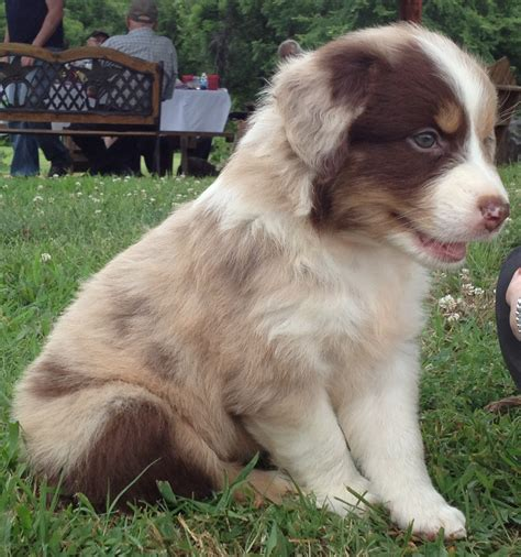 merle australian shepherd puppies australian shepherd puppies merle www pixshark images galleries with a bite