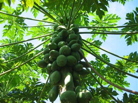 tropical fruit trees in florida growing caring for papaya trees tropical florida gardens