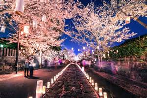 cherry blossom festival this beautiful cherry blossom festival will light up your