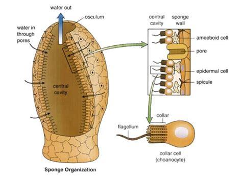 anatomy of a sponge diagram sponge anatomy diagram 22 wiring diagram images wiring