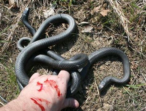 Blind Spot Under Skin Black Racer Snake Facts Habitat Diet Adaptation Pictures