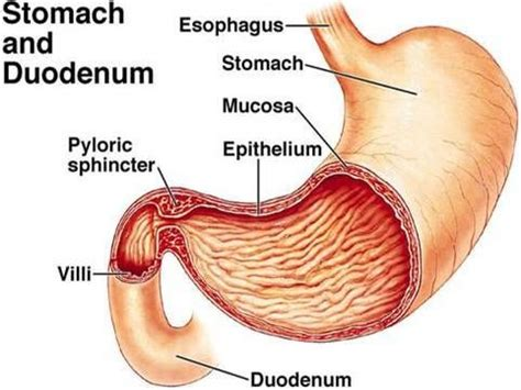 a diagram of the stomach stomach and duodenum diagram nursing vi