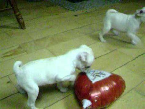 marshmellow the white pug puppy marshmallow the white pug puppy