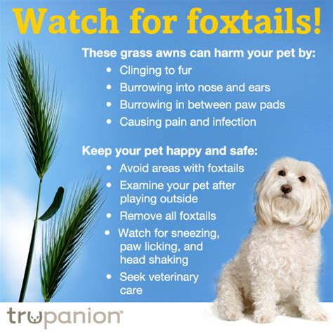 foxtails and dogs foxtail claims on the rise trupanion pet insurance