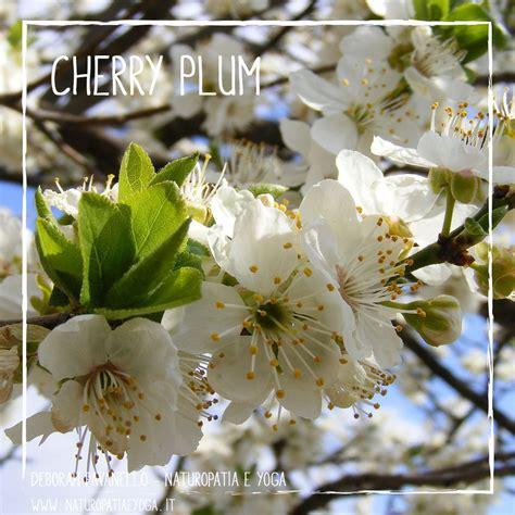 fiori di bach cherry plum fiori di bach deborah pavanello