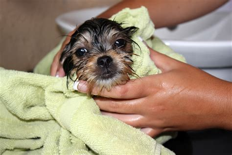 how often can you wash a puppy how to wash a with pictures wikihow