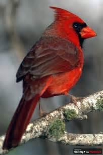 cardinal west virginia state bird american wildlife