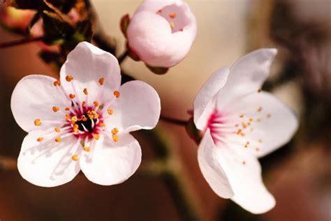 fiore della bellezza corpo sodo con gli estratti di ciliegio obiettivo benessere