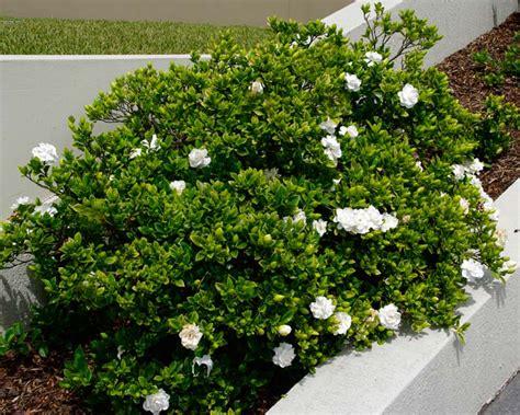 gardensonline gardenia augusta syn gflorida