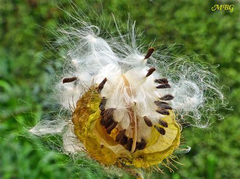 Butterfly Garden Seeds by Gomphocarpus Fruticosus Swan Milkweed For Monarchs