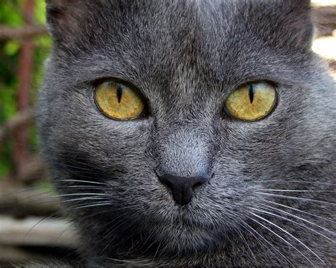 cat wallpaper grey gray cat wallpaper
