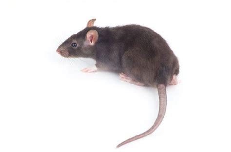 ratti in giardino come liberarsi di topi e ratti consigli pratici faster