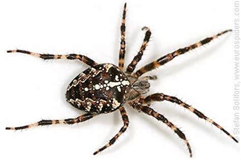 Garden Spider Cross Back Araneus Diadematus Photos And Info
