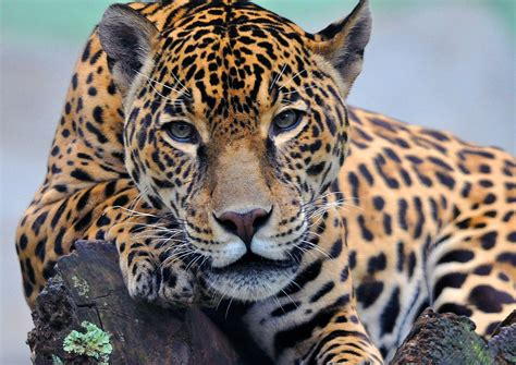 google imagenes de jaguares jaguar full hd wallpaper and background 1920x1357 id