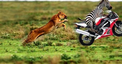 Download Game Home Design 3d For Pc tiger hunt zebra moto funny wallpaper hd background free