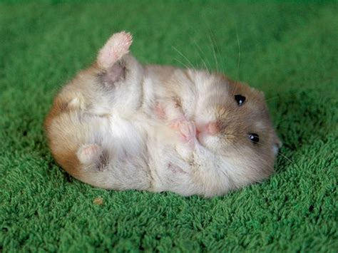 7 Tips On Taking Care Of Hamsters by Rozi S Tips To Take Care Your Hamster After Giving Birth