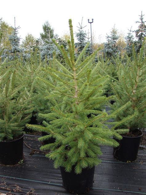 trimmery 3b 75 lakewood spruce baker lake nursery products evergreen trees minnesota picea abies spruce