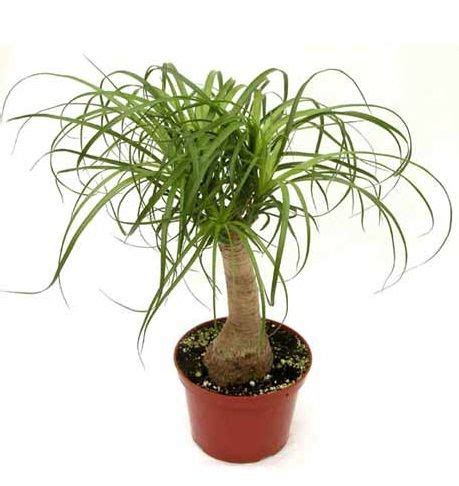 Tanaman Sansevieria Green Greco 37 best images about tanaman tahan panas on snowflakes and bottle