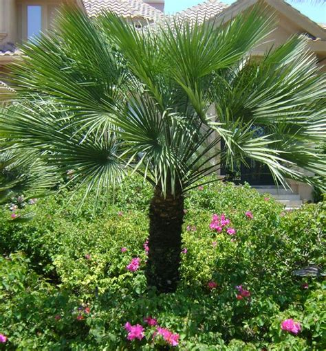 mediterranean fan palm tree european fan palm chamaerops humilis 15 h plants of