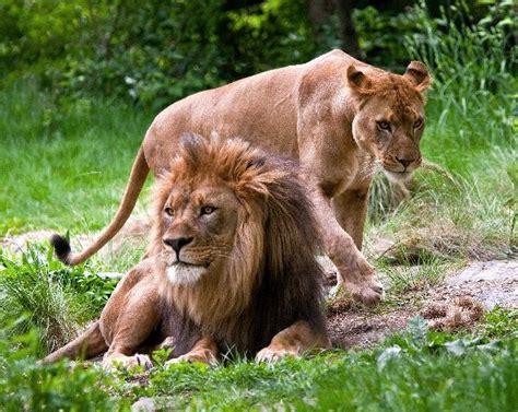 imagenes de leones y gatos gatos mas fuertes im 225 genes taringa