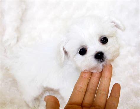 maltese puppies for sale teacup maltese puppy for sale iheartteacups