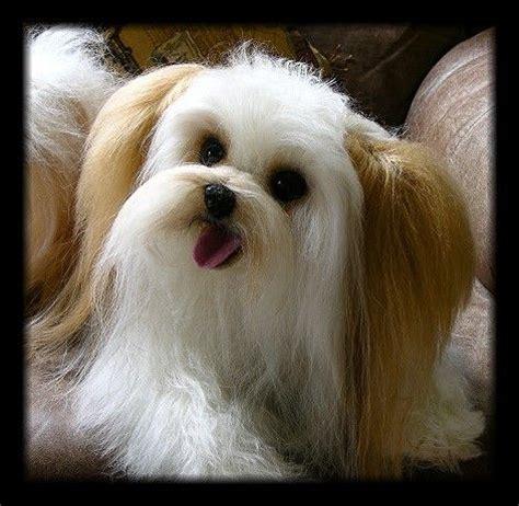 mi ki puppy mi ki breed collections