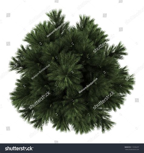 top traditional pine tree images top view of european black pine tree isolated on white