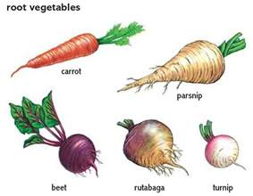 root vegetables root vegetables town country gardening