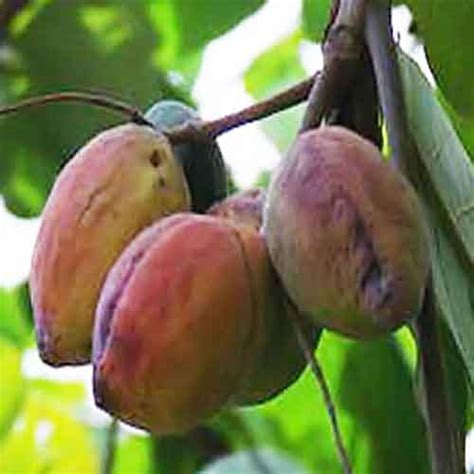 almond fruit tree tropical almond fruit nutrition facts tropical almond