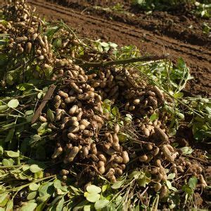 Where Are Planters Peanuts Grown by Growing Peanuts Gardening