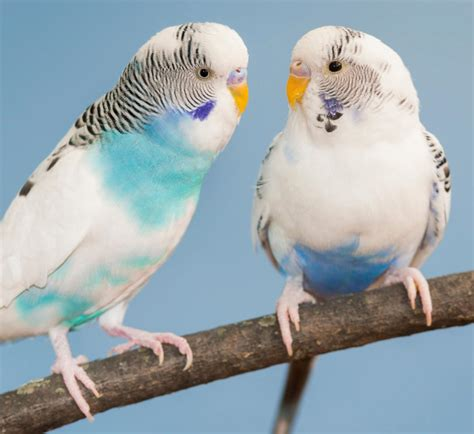 Buys A Parakeet by Canary Vs Parakeet Understanding Which Makes A Better Pet