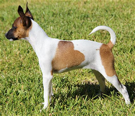 Do Rat Terriers Shed A Lot by Rat Terrier Breed Plus
