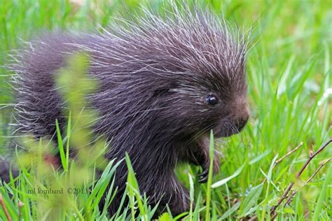 a baby porcupine is called a porcupette awwducational