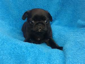 Pugs For Sale In Pugs For Sale Lancashire Pets4homes