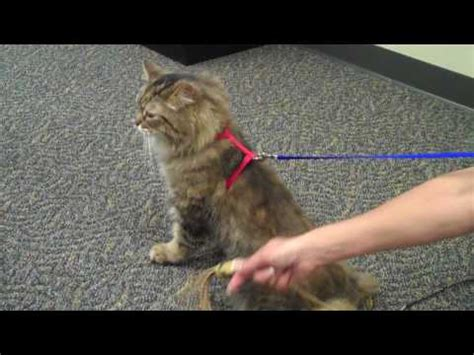 how to your walk on a leash cats shopping at petsmart leash funnycat tv
