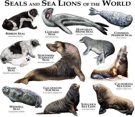Walrus Vs Elephant Seal by Walrus Vs Elephant Seal