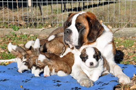 free bernard puppies st bernard puppies with wallpapers and images wallpapers pictures photos