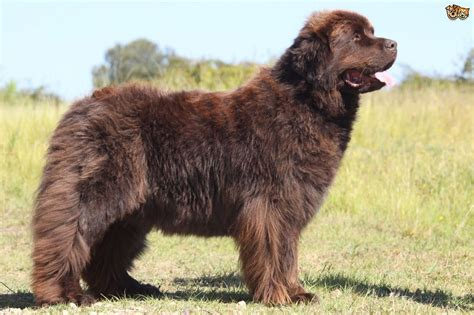 pictures of newfoundland dogs the large and lovely newfoundland pets4homes