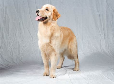 golden retriever westminster guess which of america s favorite breeds never won best in show planet