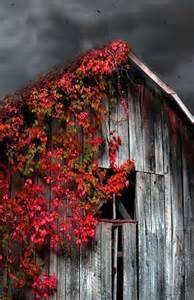 the flower barn barn virginia creeper a fast growing vine whose