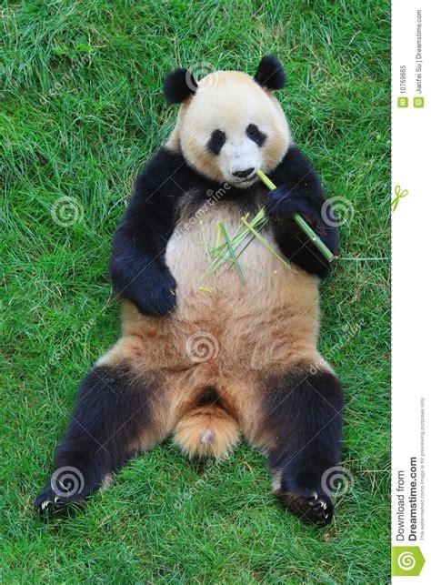 endangered animal panda royalty  stock photo image