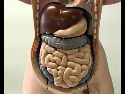 organi interni corpo umano addome il corpo umano 3 5 il sistema digerente